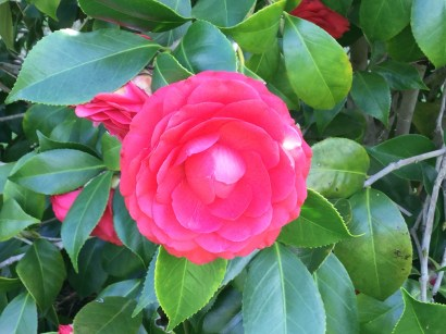 Captivating Camellia
