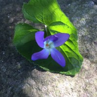 Violets. My Mum had these on her wedding cake!