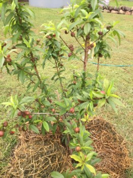 Nectarines are getting bigger!