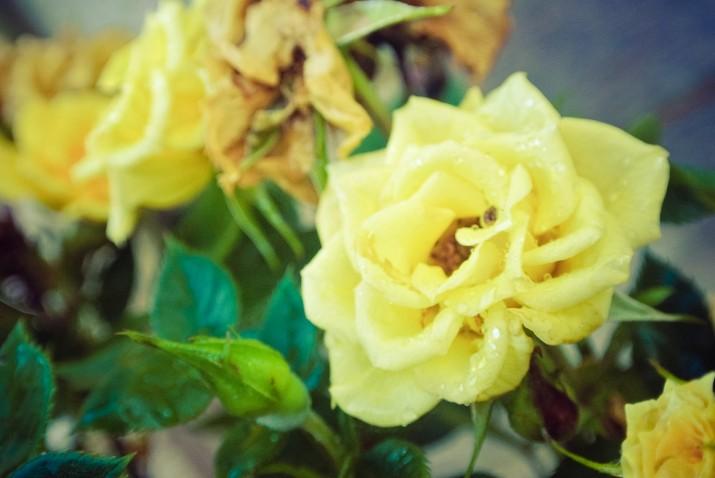 Yellow rose bush - my late Grandads favourite flower