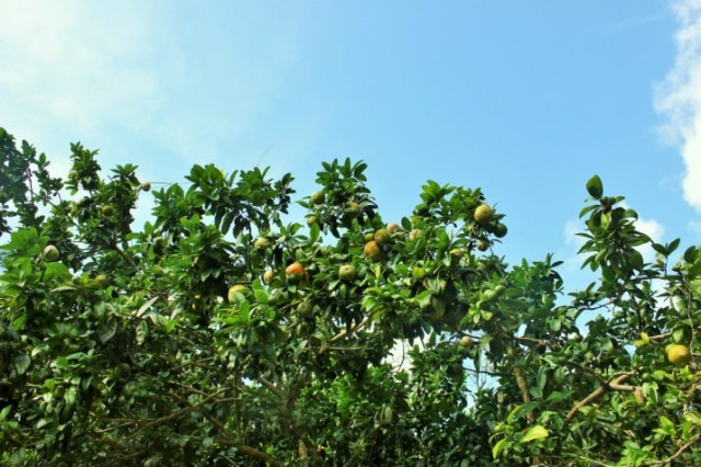 Plant apple trees in the garden