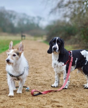 Living with a disabled dog #Cockerspaniel