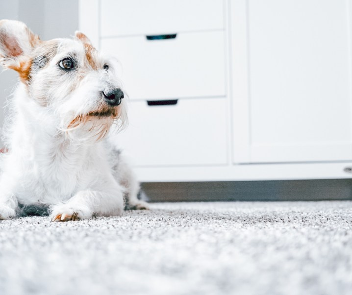 How to remove pet urine and unpleasant smells from the carpet?