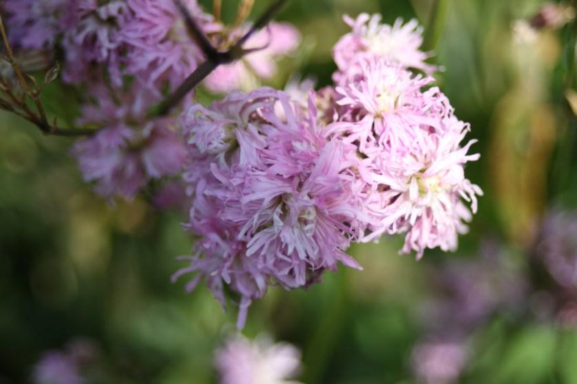 Pink, flowers, garden, 365