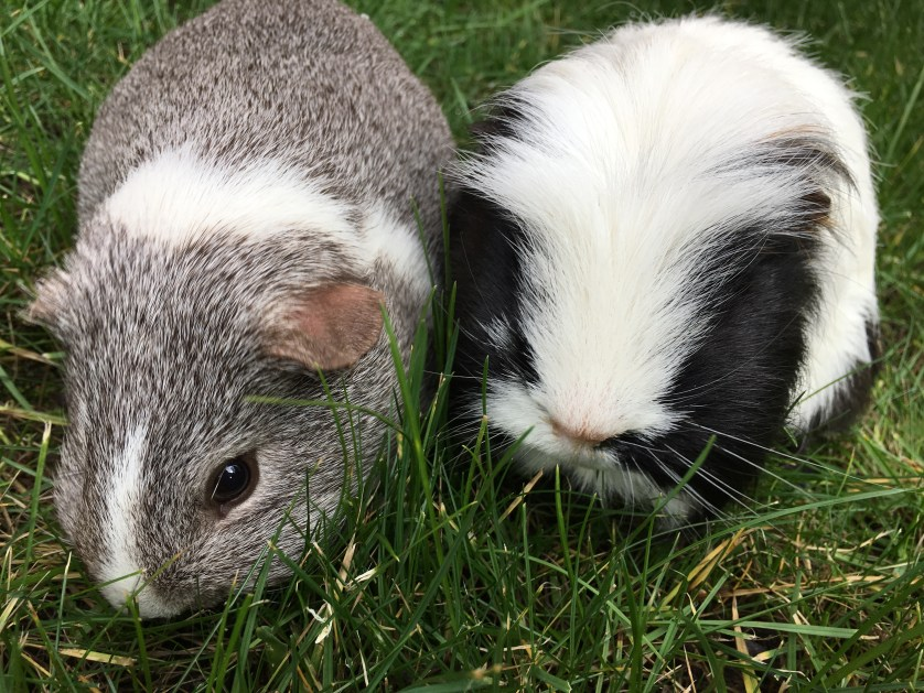 Eric, Wilfred, Guinea pigs, Pets, 365