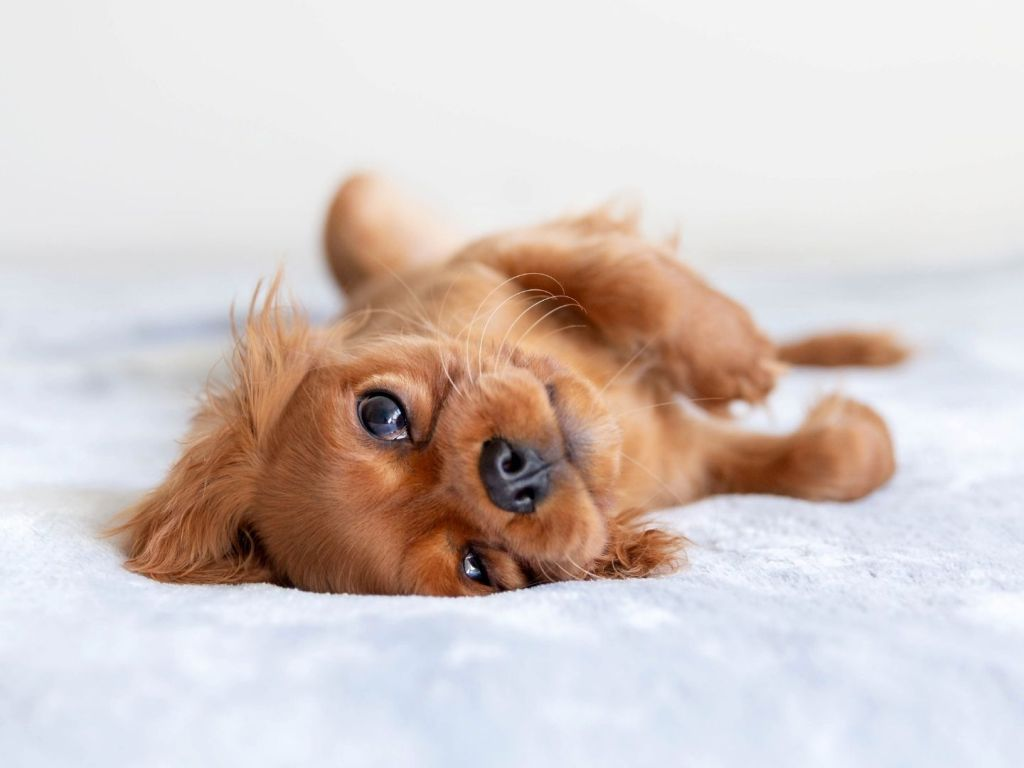Five Tips To Help Your New Puppy Feel At Home