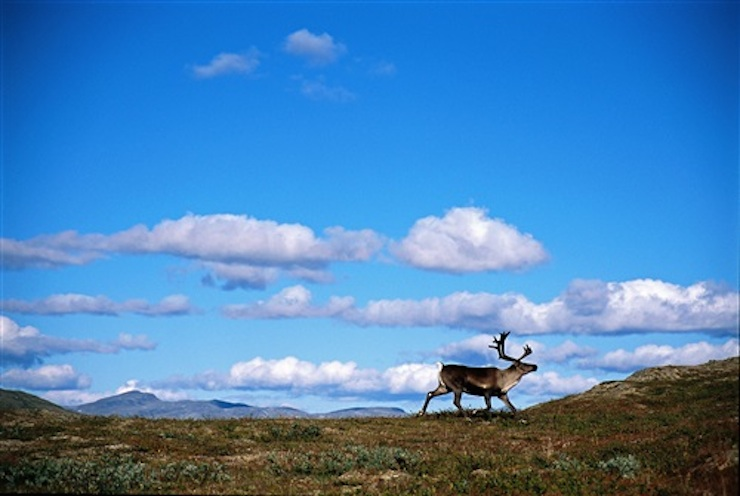 Reindeer walking across a plateau. Photo by Anders Gjengeda courtesy of Visitnorway.com