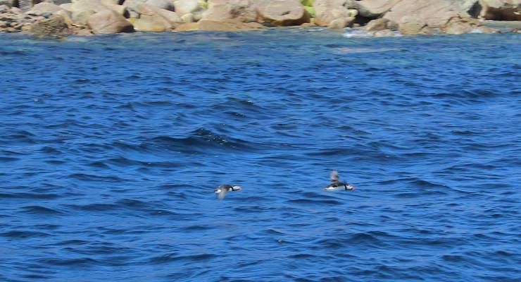 Puffins, Isles of Scilly. Copyright Gretta Schifano