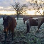 New Forest ponies. Copyright Gretta Schifano