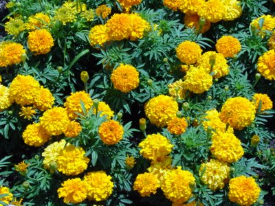 marigold_flower.jpg