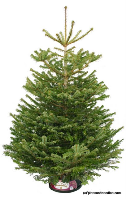 Isabelle's Christmas Advent Calendar: Day 8 - Win A Real 6ft Christmas Tree WINNER ANNOUNCEMENT 2