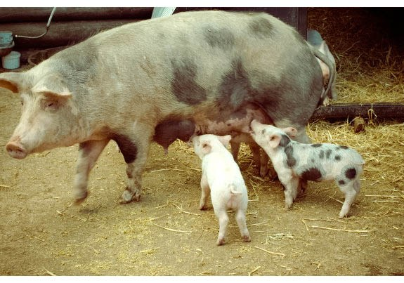 Pigs, Piglets, Piglets Feeding, Reddish Vale Farm, Spotted pig, spotted piglet, cute pigs