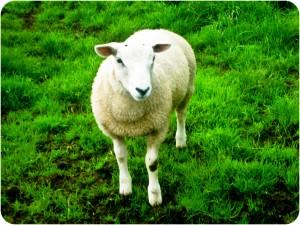 Sheep, lamb, welsh lamb, caernarfon, Wales, field