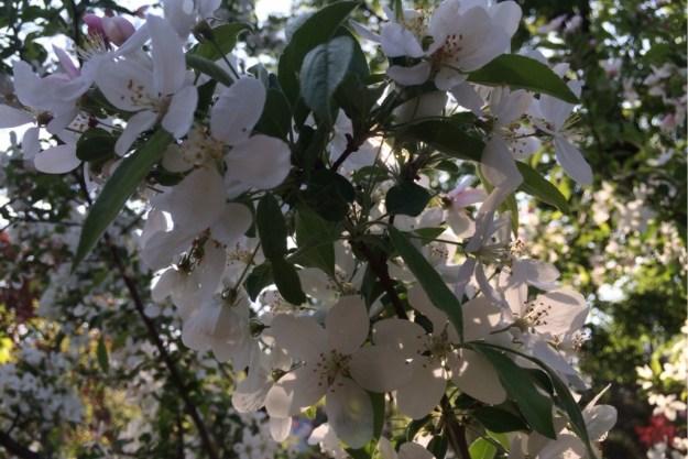 Spring Blossoms 13