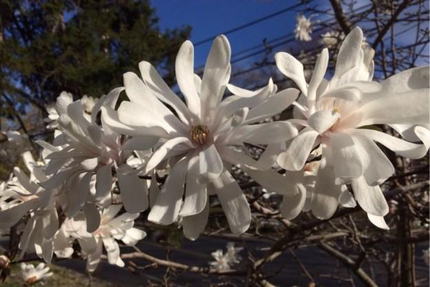 Spring Blossoms 2