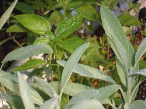 Fresh Basil & Sage in the Eclectic Kitchen Herb Garden