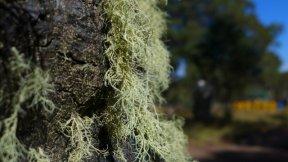 strange lichen on every dead tree
