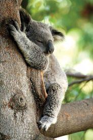 Koala Bear sleeping