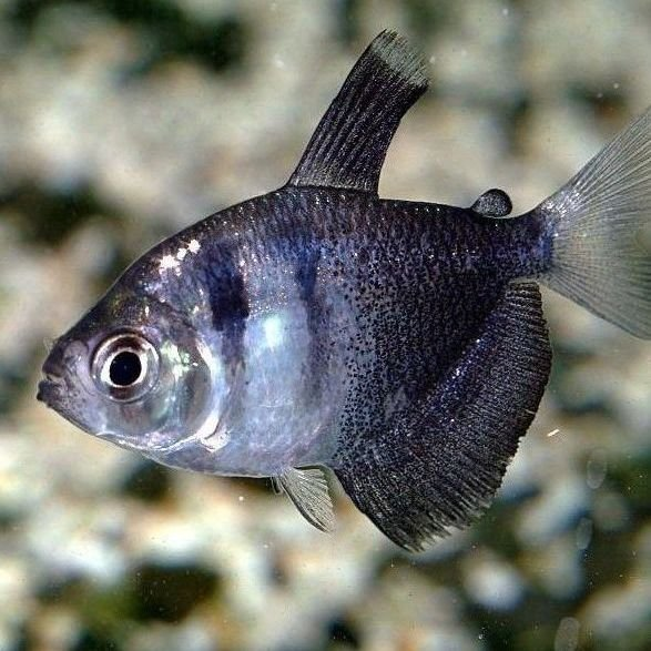 peces monjita