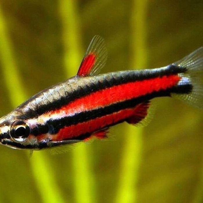 Pez l piz informaci n para acuarios mundo acuario for Peces para acuarios pequenos