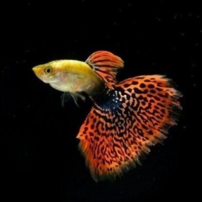 Pez guppy alimentaci n cuidados reproducci n for La reproduccion de los peces