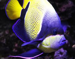 Blue-girdled angelfish by Parides (deviantart.com)