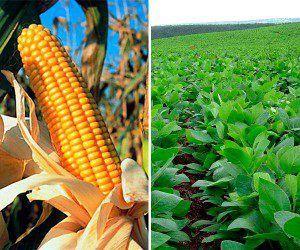 maiz-vs-soja(10)