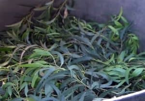 remedio hojas de eucalipto