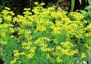 remedio casero con planta de ruda