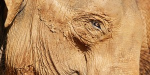 Rostro de elefante