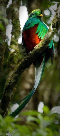 192948 152311571518008 113673238715175 307459 5125912 o - Galería - fotos del Quetzal, ave nacional de Guatemala