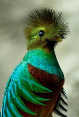 314600 156864327729399 113673238715175 319943 1752754 n - Galería - fotos del Quetzal, ave nacional de Guatemala