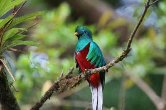 318122 156862587729573 113673238715175 319939 2978829 n - Galería - fotos del Quetzal, ave nacional de Guatemala