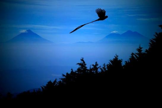 EL Quetzal en vuelo foto por Ricky López Bruni - Galería - fotos del Quetzal, ave nacional de Guatemala