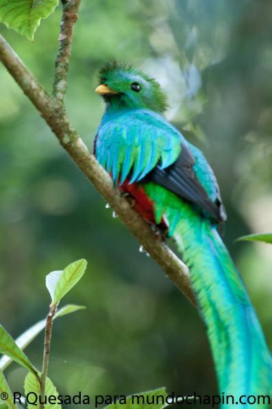 Fotografía de Roberto Quezada. - Galería - fotos del Quetzal, ave nacional de Guatemala