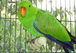 El Loro ave popular de Guatemala - foto por mascotass.com