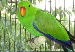 El Loro ave popular de Guatemala foto por mascotass.com  - Galería - Fotos de Loros