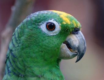 El loro ave y mascota de muchos guatemaltecos foto por taringa.net  - Galería - Fotos de Loros