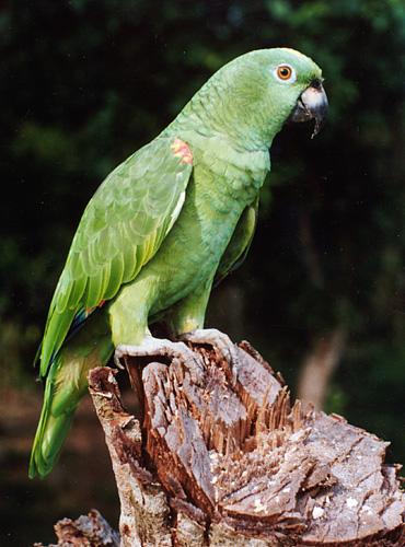 El loro, conocido por ser una de las aves mas inteligentes - foto por jlopezdelaserna.ning.com