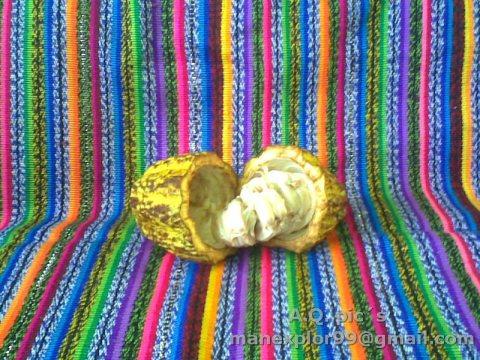 El Cacao. Fotografía de Manuel Queme. - El Cacao (Kakaw), la bebida de los dioses en la cultura maya