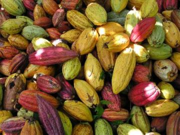 cacao 1 - Chocolate de Mixco - Patrimonio Cultural de Guatemala