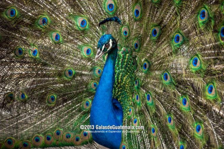 Galeria fotos del pavo real en guatemala - Fotos de un pavo real ...