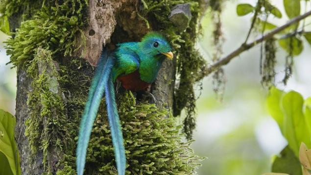 Quetzal foto por Abner Chinchilla - Guía Turística - Ranchitos del Quetzal