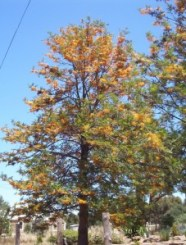 Gravilea o Grevillea robusta 227x300 - Entre flora y aroma a Cuaresma