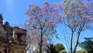 jacaranda 300x172 - Entre flora y aroma a Cuaresma
