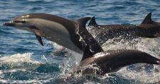 Delfínes en el océano Pacífico guatemalteco. Foto por Julio Carlos Romero Guevara.