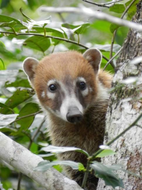 Fauna Pizote en Parque Tikal foto por Vctor Mendoza - La fauna de Guatemala