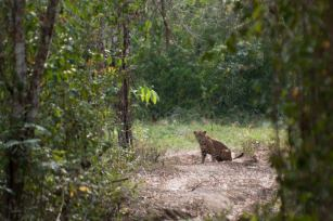 Jaguar en el Parque Nacional Laguna del Tigre. Foto por Santiago Billy Prem.