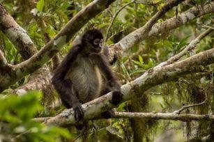 Mona araña embarazada Tikal foro por Carlos Echeverria - La fauna de Guatemala