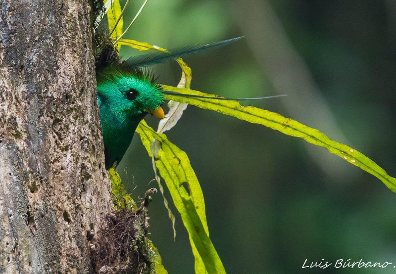 nido en el refugio del quetzal en san rafael pie de la cuesta san marcos foto por luis burbano - 10 Tipos de Aves en Guatemala